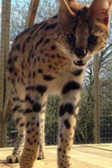Meet The Meerkats Servals And Lemurs Day Out At Hoo Farm For Two by Activity Superstore