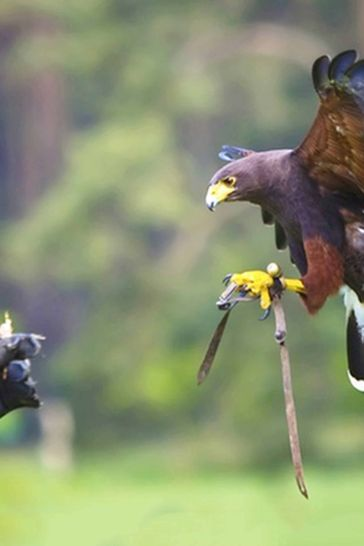 3 Hour Falconry Gift Experience by Activity Superstore