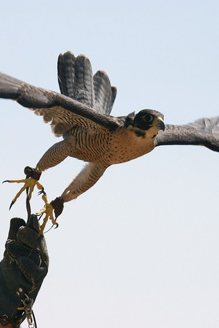 Introductory Falconry Gift by Virgin Experience Days