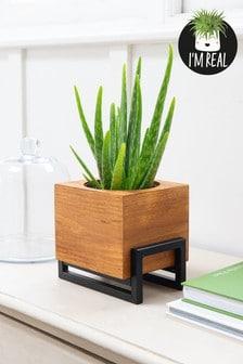 Real Plants Aloe In Wooden Pot