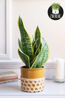 Real Plants Sanseveria In Ceramic Pot