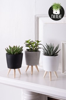 Set of 3 Real Plants Succulents In Ceramic Footed Pots