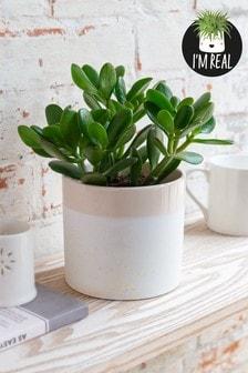 Real Plants Crassula In Ceramic Pot