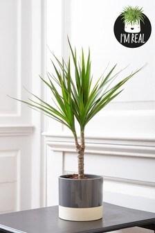 Real Plants Dracaena In Ceramic Pot