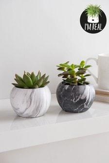 Set of 2 Real Plants Succulents In Ceramic Pots