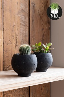 Set of 2 Real Plants In Concrete Pots
