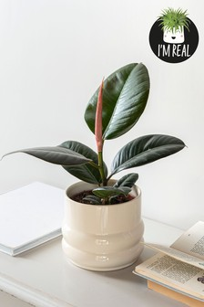 Real Plants Rubber Plant In Curved Ceramic Pot