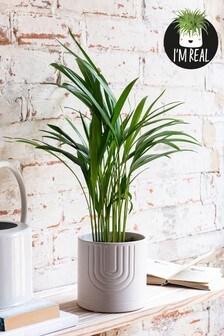 Real Plant Palm In Ceramic Pot