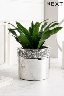 Real Plants Dracaena Compacta In Harper Pot