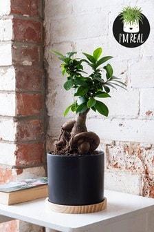 Real Plants Ficus Zen In Ceramic Pot