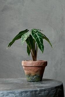 Jardim Plant By Abigail Ahern