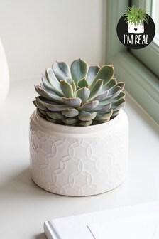 Real Plants Succulent in Ceramic Pot
