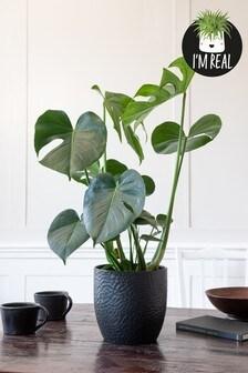 Real Plants Monstera In Ceramic Pot