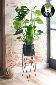 Real Plants Monstera In Footed Pot