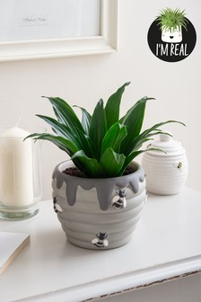 Real Plants Dracaena In Ceramic Bee Pot