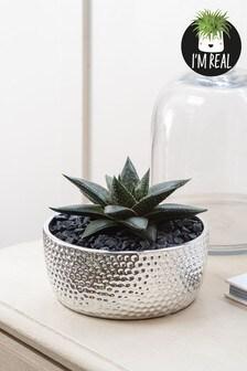 Real Plants Aloe In Metallic Ceramic Pot
