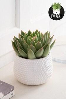 Real Plants Echeveria In Ceramic Lustre Pot