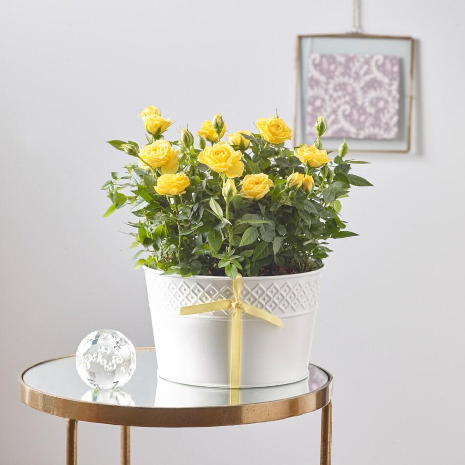Yellow Rose Duo