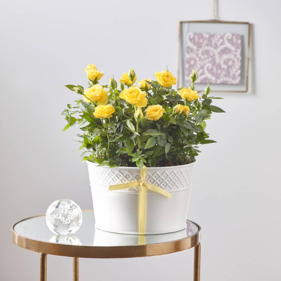 Yellow Rose Duo with Chocs