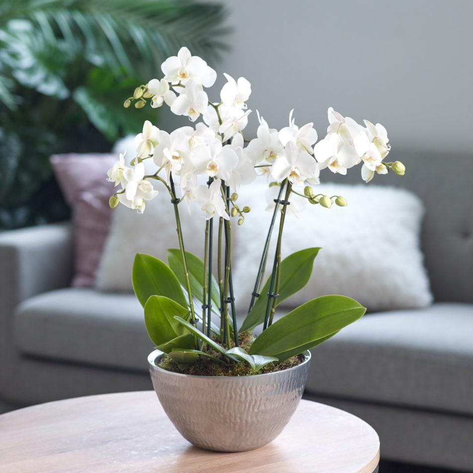 Premium Orchid with Chocs