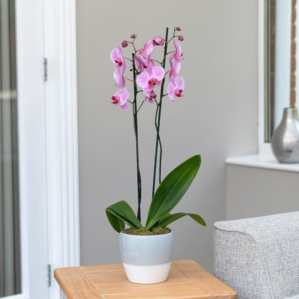 Phalaenopsis Orchid with chocs