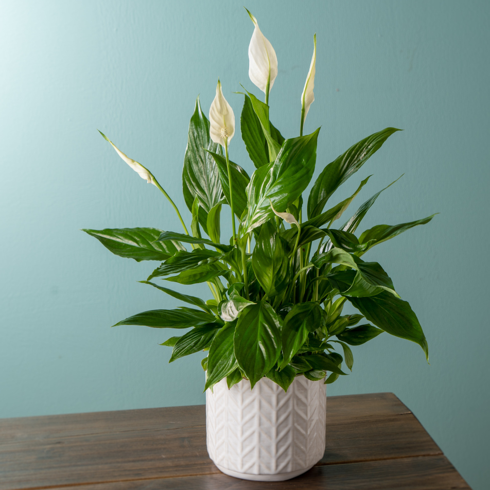 Thinking of You Peace Lily with Chocs