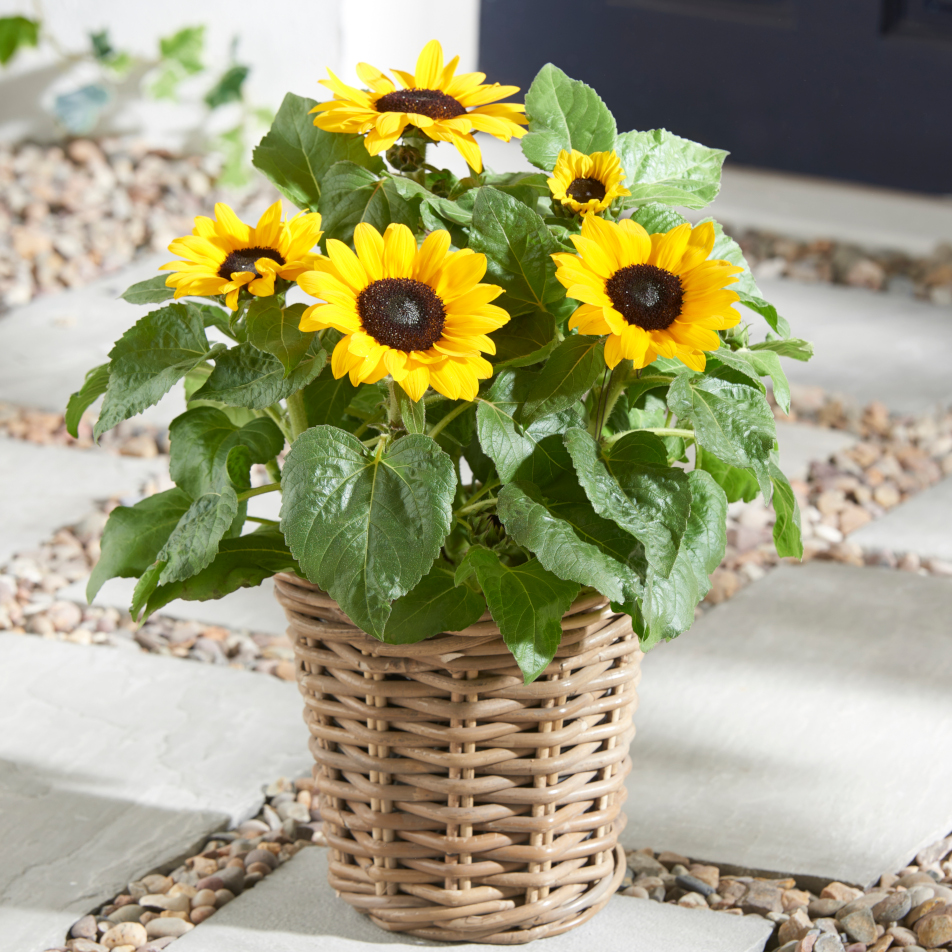 Sunflower Basket with Chocs