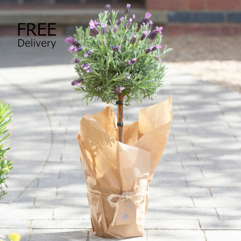 Outdoor Lavender Tree
